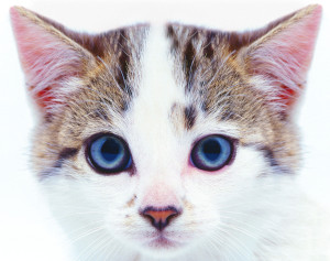 Cat Looking --- Image by © Royalty-Free/Corbis